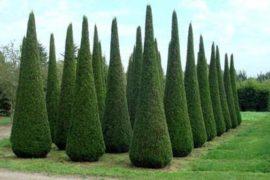Деревья крупномеры и туи в ландшафтном дизайне?