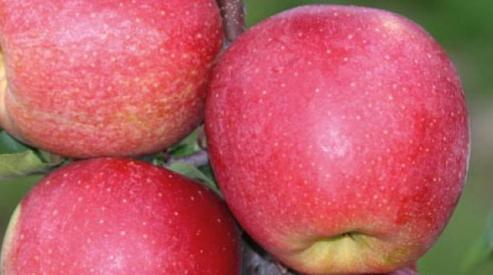 Яблочный сад – хранитель витаминов