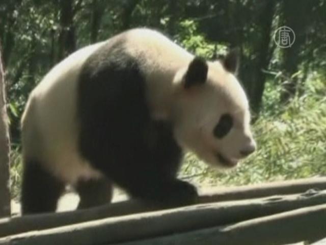 Китайские панды готовятся к переезду в Сингапур