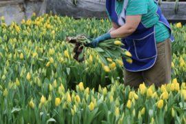 Первые тюльпаны срезали в оранжерее ВДНХ к 8 марта