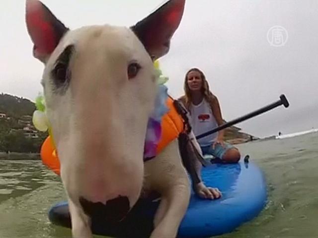 Чемпионат по сёрфингу для собак прошёл в Бразилии