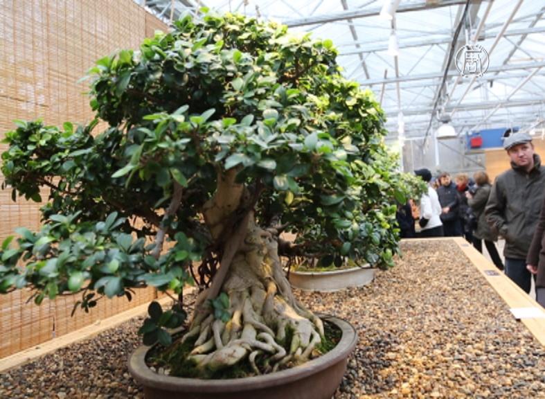 Бонсай: мир маленьких деревьев в Москве
